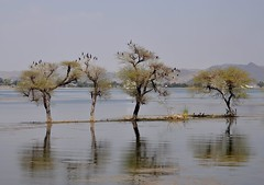Back to the Wild Side (The Spirit of the World ( On and Off)) Tags: india nature asia wildlife rajasthan udaipur trees lake water birds reflections waterscape waterreflections cormorants fowl landscape