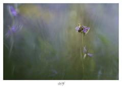 """"""" La pie fera le printemps et les abeilles voleront """" (the world of collembola) Tags: flower orchidaceae orchidée orchidã©e macro fleur canon macrophotography hérault occitanie canoneos6d"""