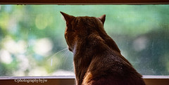 Weather Checker Happy Caturday (Photographybyjw) Tags: weather checker happy caturday prissy likes look out window i guess she keeps checking shot north carolina ©photographybyjw rural country