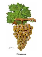 Vermentino (Sparkling Wines of Puglia) Tags: uva grappolo vermentino ampelografia illustrated illustraciones illustrazioni illustrations illustration antico ancien