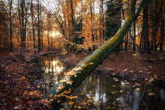 Moody Autumn (michel1276) Tags: autumn herbst wald forest tree trees baum bäume natur nature waldspaziergang wochenende weekend halternamsee sythen loxia2128 zeissloxia sonya7iii