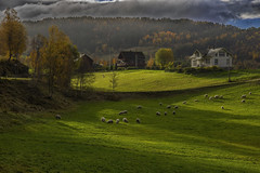 Eco-friendly lawn mowers. (Siggi007) Tags: autumn fall sheep sheeps animals light green grass colors weather clouds trees buildings houses landscape landschaft paysage nature living shadows outdoors farben golden canoneos6d colores contrasts valley norway norwegen norge naturaleza mood mountainside