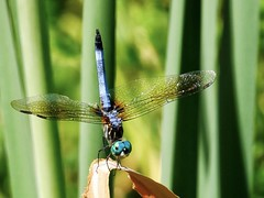 Circus Soleil (billjackson.images) Tags: umstead state park raleigh nc north carolina dragonfly