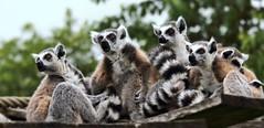 FAMILY (babsbaron ( Bella )) Tags: nature naturfotografie naturephotographie tiere tierfotografie animals animalphotographie säugetiere mammals primaten primates lemuren katta tierpark animalpark thüle canon