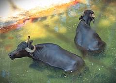 I'm not talking to you (janedoe.notts) Tags: nature animal animalkingdom water buffalo disney olympus omd em10markii 12100 zoo