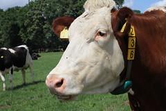 Delta Lily Britt (excellentzebu1050) Tags: livestock dairycows dairyfarm cow cattle closeup farm field animal animalportraits outdoor grass coth5 sunrays5