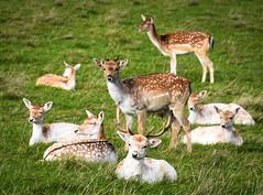 Deer, Wentworth Castle Gardens (littlestschnauzer) Tags: deer 2019 autumn nature animals herd wentworth castle gardens national trust south yorkshire uk