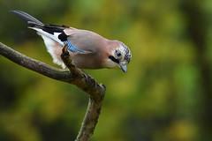 geai des chênes / Garrulus glandarius 19E_4916o (Bernard Fabbro) Tags: garrulus glandarius geai des chênes oiseau bird eurasian jay coth coth5