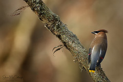 Cedar Waxwing (Shari McCollough Nature Photography) Tags: ceadarwaxwing bird perch winter fall berries forage nature wildlife canon canonlens birdphotography wildlifephotography naturephotography sharimccollough sharimccolloughphotography