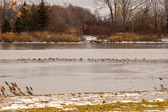 pond birds (Lou Musacchio) Tags: birds seagulls pond water trees grass leaves nature autumn november