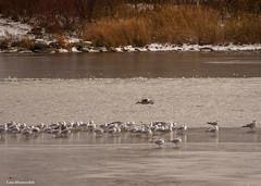 pond birds at parc des rapides (Lou Musacchio) Tags: birds seagulls pond water trees grass leaves nature autumn november parcdesrapides villelasalle montreal quebec canada