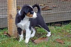 Frida (glaserei) Tags: frida hunde hund haustier australianshepherd