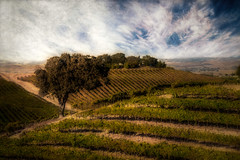 Lost In The Vineyard (larwbuck) Tags: landscape artistic autumn california clouds composite fall painterly textures tree vineyard