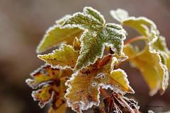 Premiers frimats (jpbordais) Tags: plantes feuilles gelées froids bokeh canon 50mm automne nature jardin matin garden morning frosts leaves autumn