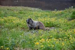 Marmot (euansco) Tags: canada british columbia bc whistler garibaldi provincial park rockies mountians hlem glacier outdoors nature hiking wild snow 2019 summer