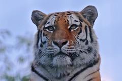 Tiger - Panthera tigris tigris (Phasmomantis) Tags: tiger panthera tigris mammal portrait india south east asia pentax kmount wildlife