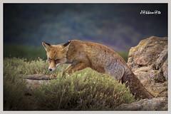 Zorro rojo (Vulpes vulpes) (JORGE AMAYA BUSTAMANTE - JAKKEMATE) Tags: zorro rojo vulpes jakkemate nikon d500 sigma 150600 sports jorge amaya bustamante spain españa madrid guadarrama sierra de