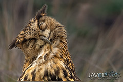 Sweet dreams ... -6196 (George Vittman) Tags: birds nature wildlife bouchesdurhône france owl eagleown asleep dreaming nikonpassion wildlifephotography jav61photography jav61 portrait fantasticnature