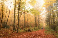 morgens in Wald (hobb_zhao) Tags: wald autum herbst farbe color tree landschaft landscape light morning morgens germany licht gelb blaetter nature natur land outdoor nebel fog