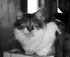 Everybody Needs Somebody To Love (Lisa Zins) Tags: lisazins cat catface feline petsandanimals pets animals elijah tabby monochrome blackandwhite eyes face happycaturday 2019 november23 portrait theme membersfavoritethemes everybodyneedssomebodytolove thebluesbrothers song songtitle