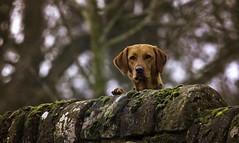 Guarding the fort. (Caleb4Ever) Tags: dog dogportrait portrait neighbour k9 caleb4ever wall moss domesticanimal