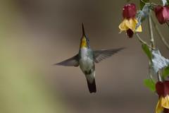 Amazilia Andina - Amazilia franciae (Gercoja) Tags: avifauna san ramon risaralda colombia birding green nature amazilia andina franciae nikon d5600 sigma 150600 f563 dg