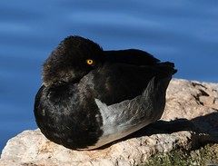 Ring-necked Duck, Aythya collaris (Dave Beaudette) Tags: birds ringneckedduck aythyacollaris reidpark tucson pimacounty arizona