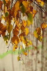 Jesienne liście brzozy / autumn birch leaves (Robert Bębenek) Tags: jesień autumn brzoza liście leaves birchtree
