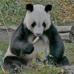 In der Ruhe liegt die Kraft (Claude@Munich) Tags: austria vienna hietzing schönbrunn viennazoo ailuropodamelanoleuca yuanyuan male giantpanda pandabear panda bamboo bambooshoot eating imperialmenagerie zoo blackwhite buddhalike claudemunich österreich wien tiergartenschönbrunn tiergarten tierpark groserpanda riesenpanda pandabär männlich bär bambus bambusschössling xióng māo dàxióngmāo 大熊貓 元元 yuányuán