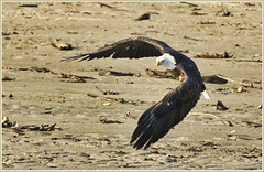 Hunting (robinlamb1) Tags: nature outdoor animal bird raptor topraptor baldeagle haliaeetusleucocephalus nicomen slough nicomenslough mission bc