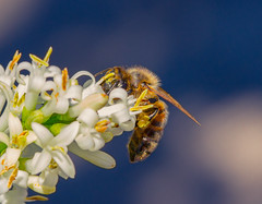 A face full of pollen  - European honey bee (AWLancaster) Tags: bee macro macroinsects insects canon geelong beautifulanimals fauna flora flowers pollen pollination amazingcreatures yard photowalk