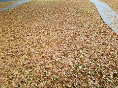 Carpet of Leaves (tomcomjr) Tags: samsung galaxy android s7 leaves carpet brown gold fall autumn 2019