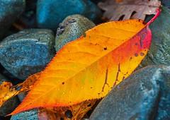Flicker (L@nce (ランス)) Tags: leaf stone stones rock golden macro canada micro britishcolumbia nikon victoria nikkor jamesbay