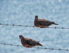 Couple (carlos_ar2000) Tags: torcaza torcaz paloma dove pigeon tortola ave pajaro bird naturaleza nature animal dof bokeh alambre wire mirada glance ciudadvieja montevideo uruguay