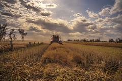 Canola harvest done (Bev-lyn) Tags: harvest canola seeds landscape sky australia