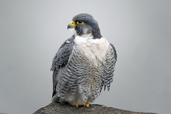Peregrine falcon on the cliffs of the Palisades overlooking the Hudson river (Eugene Lagana) Tags: peregrine falcon raptor bird hudson river hawk state line lookout