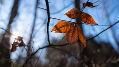 Last Leaves of Autumn (John Brighenti) Tags: orange brown dead leaves foliage autumn fall november outside outdoors nature sunlight branches trees bokeh light detail closeup weather sky blue colors colorful meadowside rockville maryland md moco montgomerycounty 24mm wideangle gm gmaster sony alpha a7rii ilce7rm2 sel24f14gm fe emount femount natural
