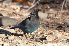 Steller's Jay (jlcummins) Tags: bird jay stellersjay yakimaareaarboretum