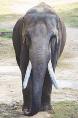 This is Spike (Tim Brown's Pictures) Tags: washingtondc nationalzoo smithsonian zoo zoos park outdoors rockcreek animals mammals elephants asianelephant maleelephant trunks tusks washington dc unitedstates