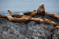 Sea Lions in Alaska (jeff's pixels) Tags: sea lions animal mammal marine life alaska