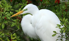 Berry White (Shannon Rose O'Shea) Tags: bird beak shannon egret greategret shannonoshea trees leaves closeup orlando wings berries close florida branches feathers rookery lores gatorland ardeaalba gatorlandbirdrookery camera art colors outside outdoors photography photo colorful flickr colours outdoor photograph colourful smugmug breedingplumage wwwflickrcomphotosshannonroseoshea wild white canon wildlifephotographer wildlifephotography naturephotographer femalephotographer birdphotographer womanphotographer girlphotographer canoneos80d throughherlens wildlifephotograph shootwithacamera shootlikeagirl nature eos bokeh wildlife profile 2019 8956 80d shannonroseoshea canon80d shannonosheawildlifephotography eos80d canon100400mm14556lisiiusm canon80d100400mmusmii 80dbird waterfowl ngc