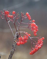Mountain Ash Berries (esywlkr) Tags: redberriesred nature mountainashtree nc northcarolina haywoodcounty pisgahnationalforest