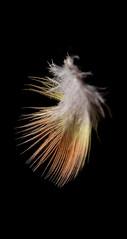 Pena de agapórnis (guielu_fotos) Tags: bird agapórnis pena passarinho