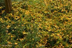 Het-blad-valt-niet-ver-van-de-boom (Don Pedro de Carrion de los Condes !) Tags: donpedro d810 herfst boom kleuren gevallen bladertapijt tapijt blad bladeren struiken