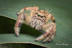 Hyllus sp. (F.Hendre) Tags: hyllus jumpingspider spider arachnid macro stack salticidae
