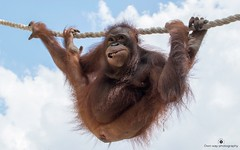 Hanging out (www.ownwayphotography.com) Tags: orangutan indonesia bali smile look hanging funny portrait animal