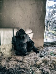 Choices (ancientlives) Tags: chicago illinois il usa travel trips lincolnpark lincolnparkzoo zoo gorilla animals nature friday november 2019 autumn