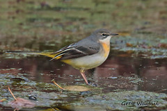 GREY WAGTAIL // MOTACILLA CINEREA (18cm) (tom webzell) Tags: naturethroughthelens