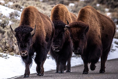 On the Move (Kim Tashjian) Tags: bison buffalo yellowstonenationalpark wyoming wildlife