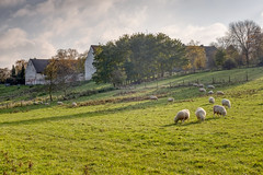 Pastoral view of Colen Abbey (enneafive) Tags: sheep grazing pastoral bucolic trees nature sky clouds blue green sun light fujifilm xt2 affinityphoto abbey colen agriculture autumn